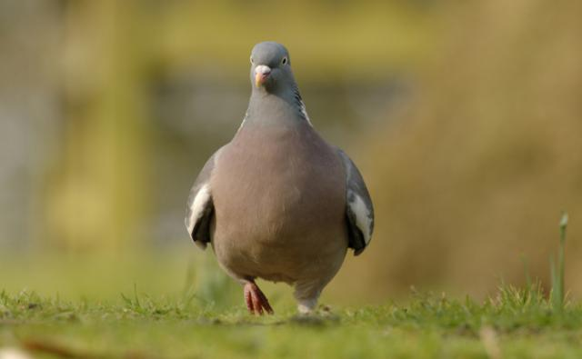 Wood pigeon walking in an urban park