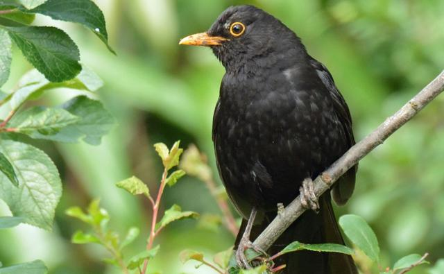 Male blackbird standing at edge of water