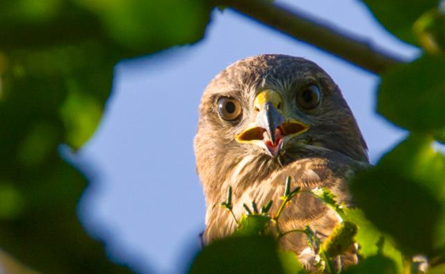 Buzzard looking through leaves (c) Ian Hassall