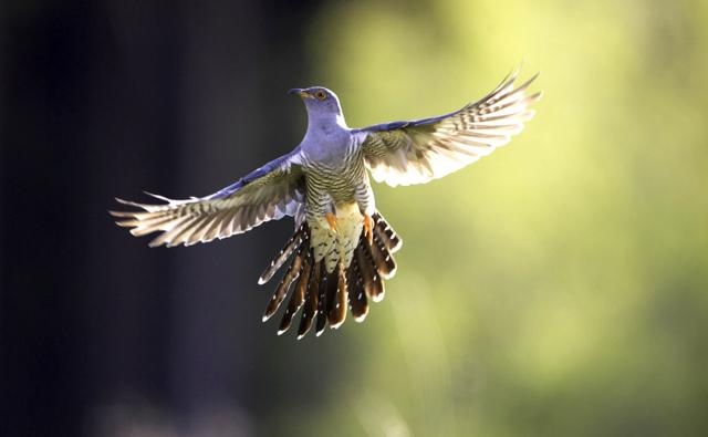 Adult male cuckoo in flight