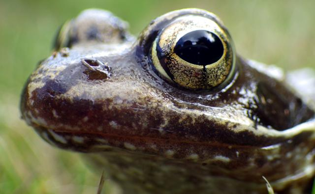 Portrait of a common frog (c) David Murray-Smith