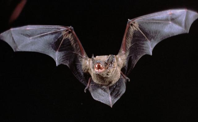 Noctule bat in flight and showing its teeth