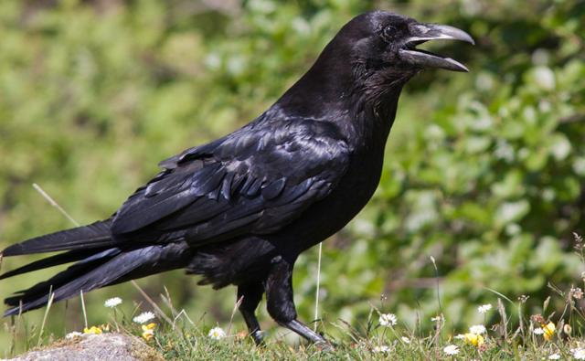 Raven walking (c) Jim MacKenzie