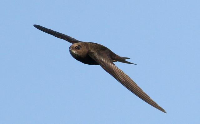 Head of a common swift