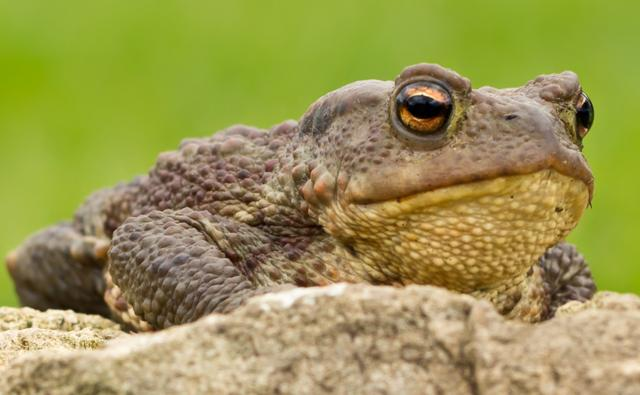 Portrait of a common European toad