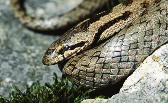Coiled smooth snake