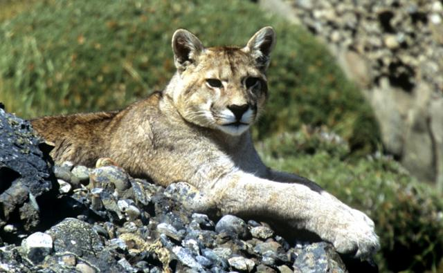 Wild puma resting on the ground