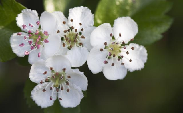 Common hawthorn flowers