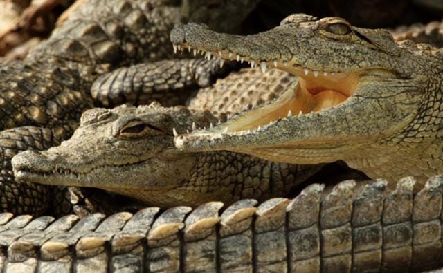A group of Nile crocodiles close together