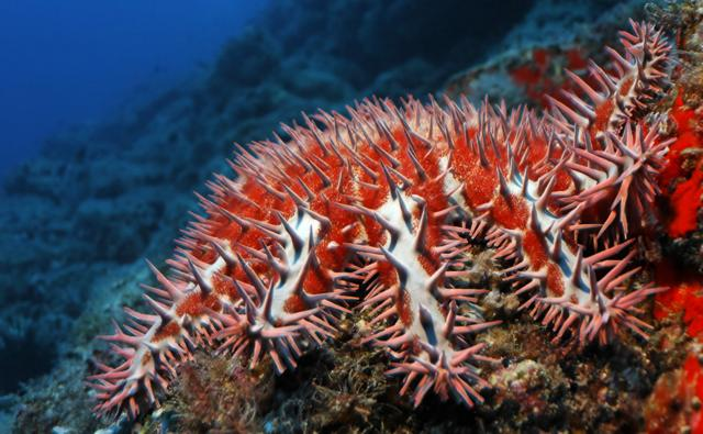 Crown-of-thorns starfish at a reef in the Pacific