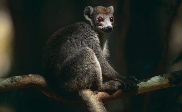 Crowned lemur sitting on a branch
