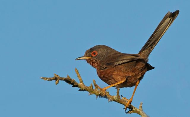 Dartford warbler perched on a branch (c) John McHale