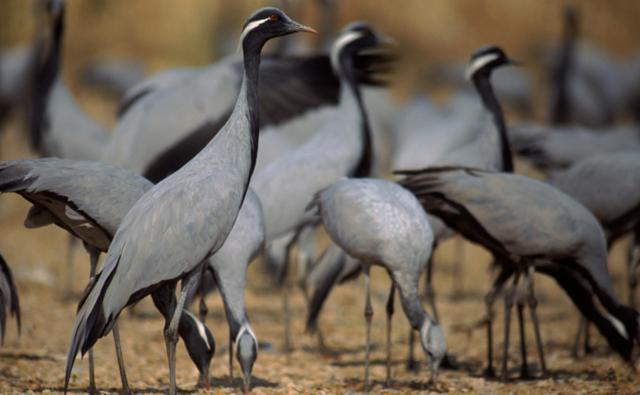 A group of demoiselle cranes feeding from the ground