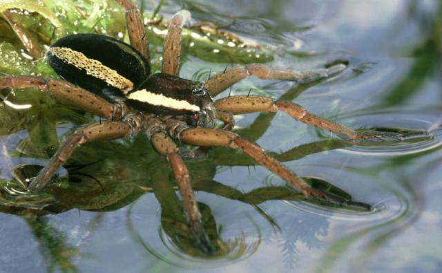 Raft spider in ripple detection posture