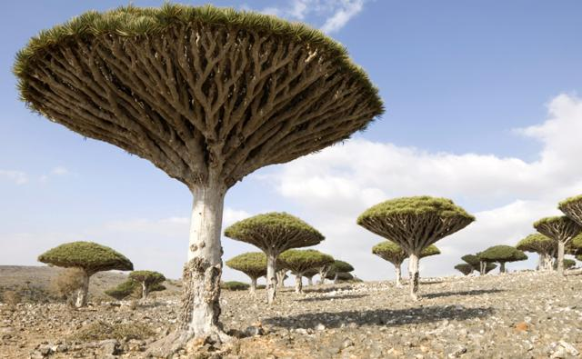 A group of dragon's blood trees