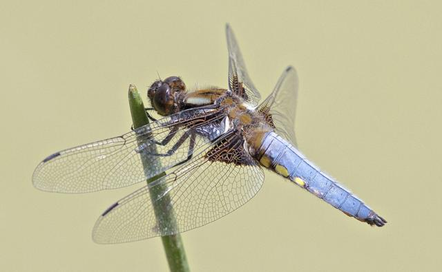 A male broad bodied chaser (c) John Murray