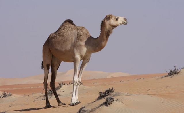 Dromedary camel in sandy desert