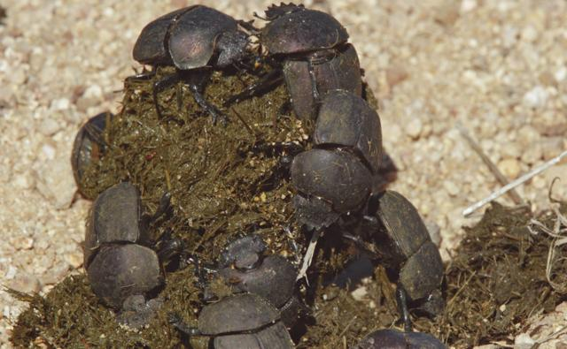 Dung beetle group on elephant excrement, South Africa
