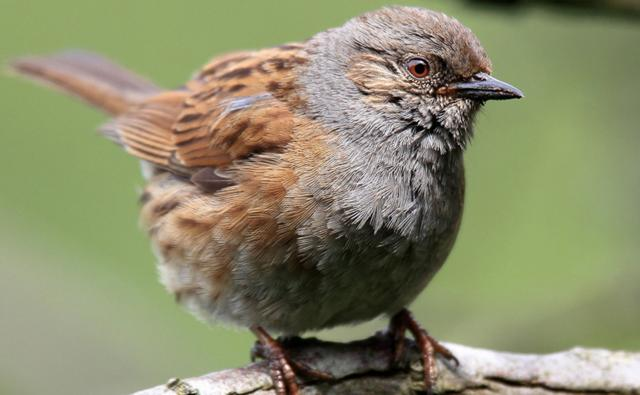 Portrait of a dunnock in profile