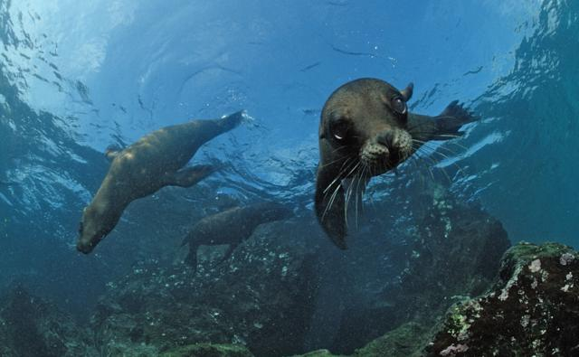 Walrus vs Elephant Seal http://skylinediscos.co.uk/9/seals-vs-sea-lions-vs-walrus