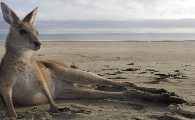 Grey kangaroo resting on a beach