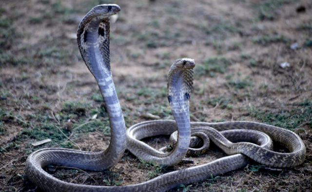 Two cobras