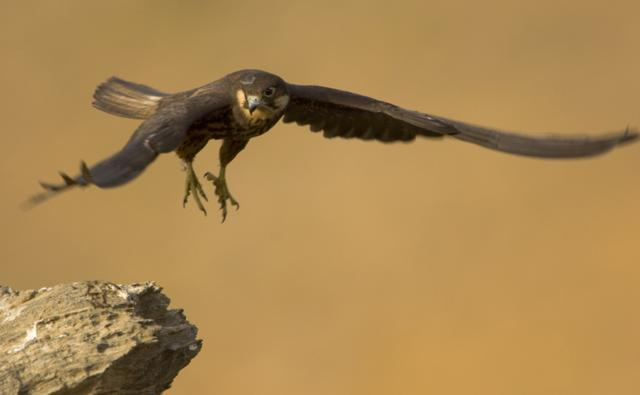 Eleonora's falcon preparing to land on a rock