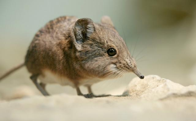 Elephant shrew on a sandy rock