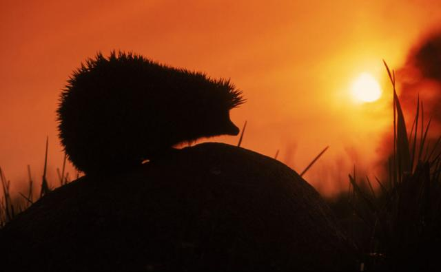 Silhouette of a European hedgehog at sunset