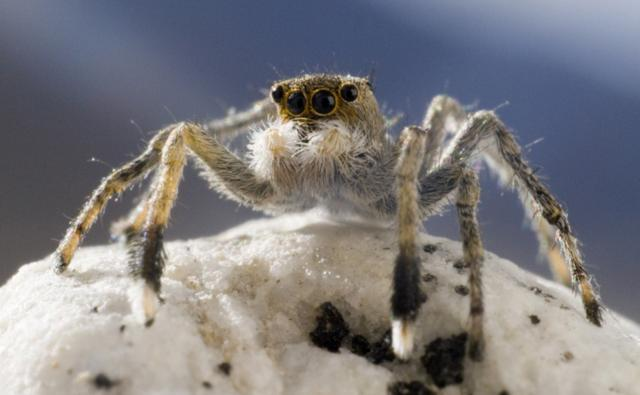 Close-up of the jumping spider