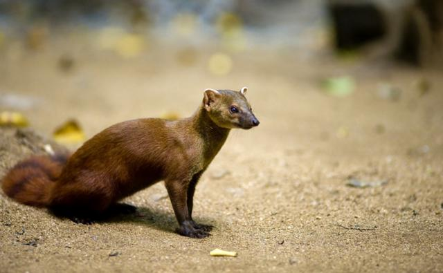 A northern ring-tailed mongoose