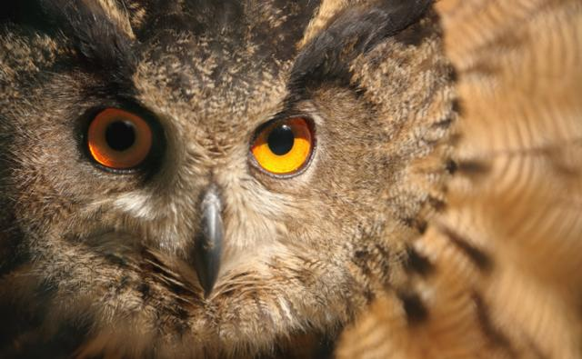 Close-up of a Eurasian eagle owl looking towards the camera