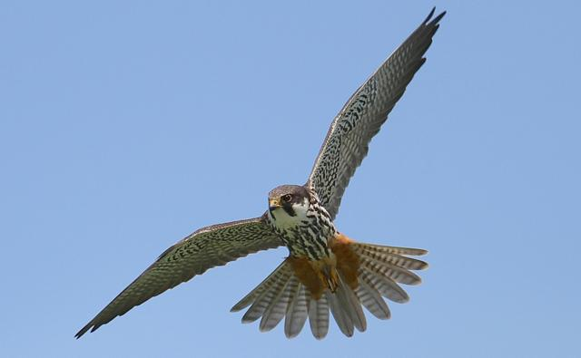 A hobby in flight (c) Mark Chivers