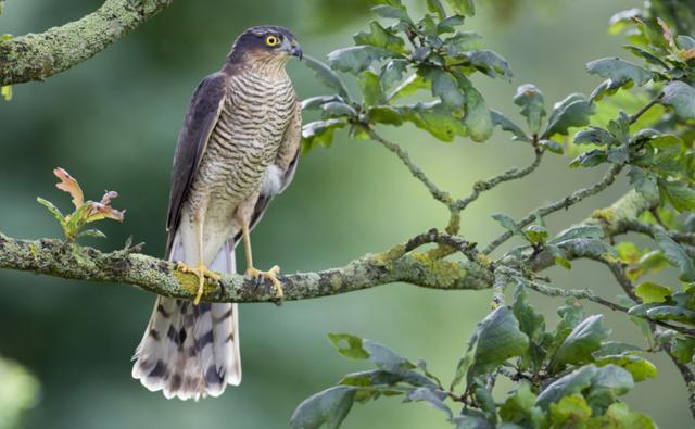 Baby sparrow hawk - photo#13