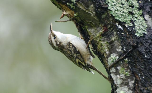Treecreeper clinging onto a tree trunk