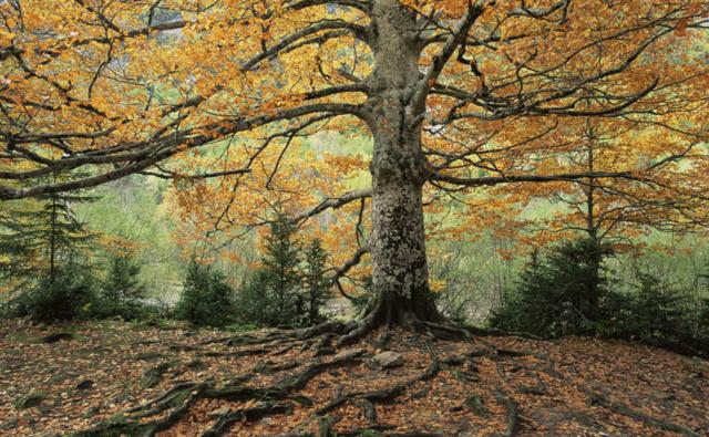 An ancient beech tree in its autumn colours