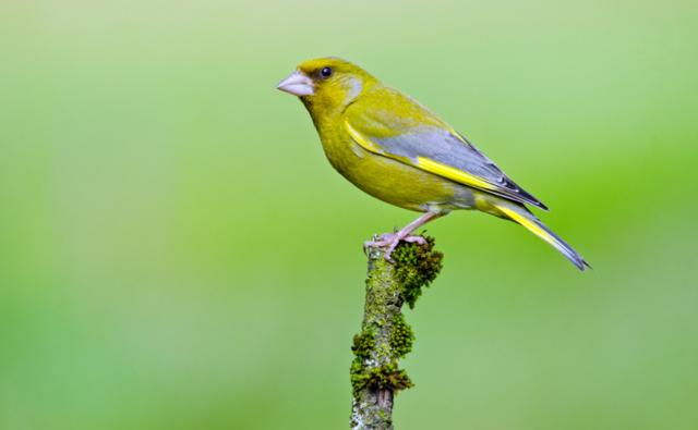 Male greenfinch in flight