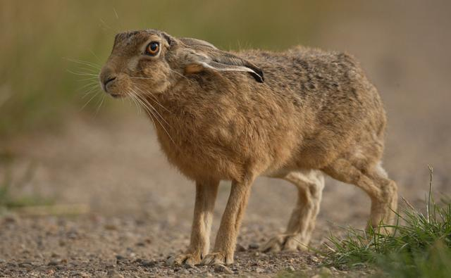 Brown hare sitting up on hind legs practising 'boxing'