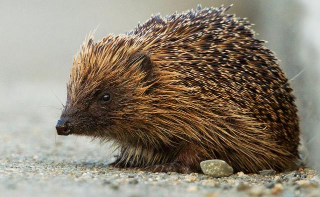 Hedgehog on a path (c) Chas Moonie
