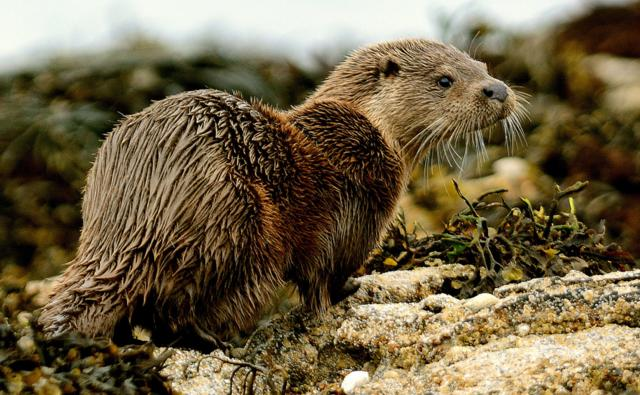 A dog otter amongst sea weed (c) Davy Renney