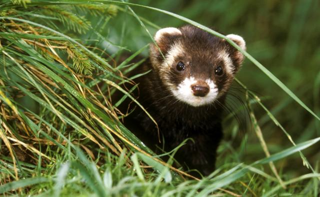 A European polecat
