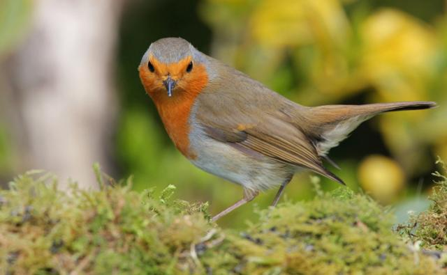 Robin looking towards camera (c) Nick Stacey