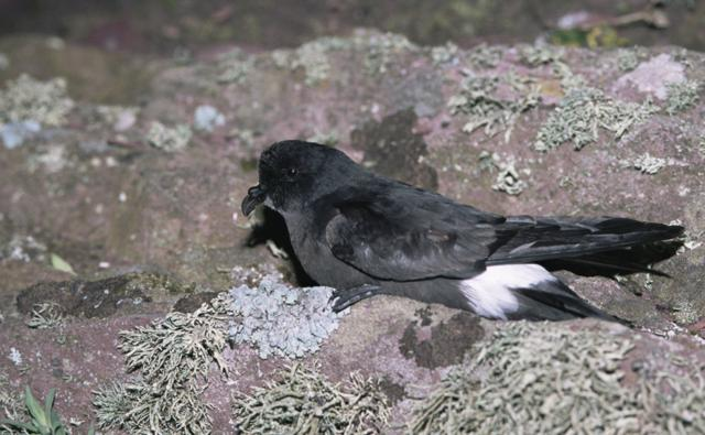 A storm petrel resting on the ground at night