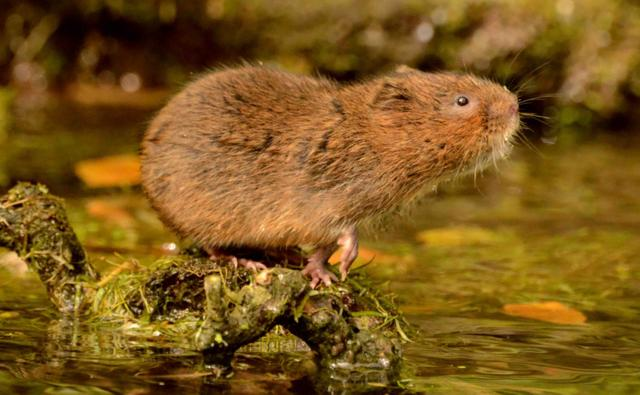 Water vole foraging on a floating log in shallows of a water channel