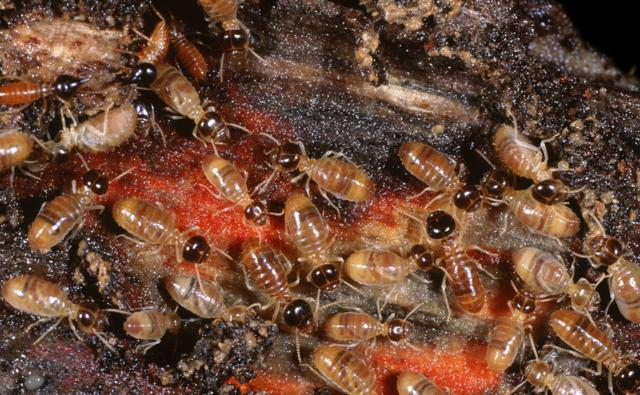 A group of termite workers with two soldiers