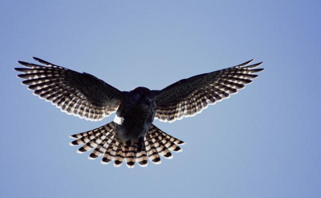 Mauritius kestrel hovering with wings and tail spread