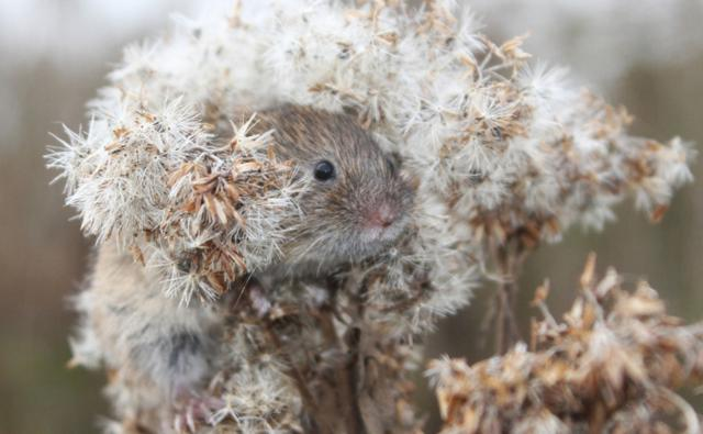 Field vole in a flower (c) John Dixon
