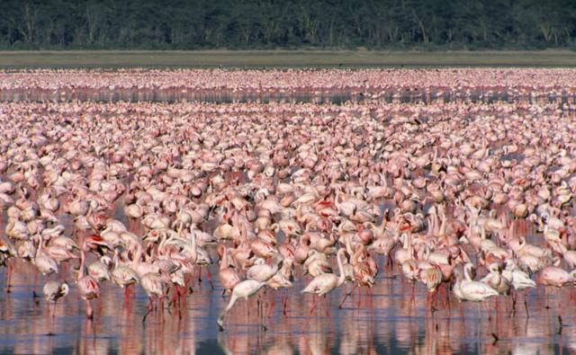 A large flock of lesser flamingos feeding on a lake
