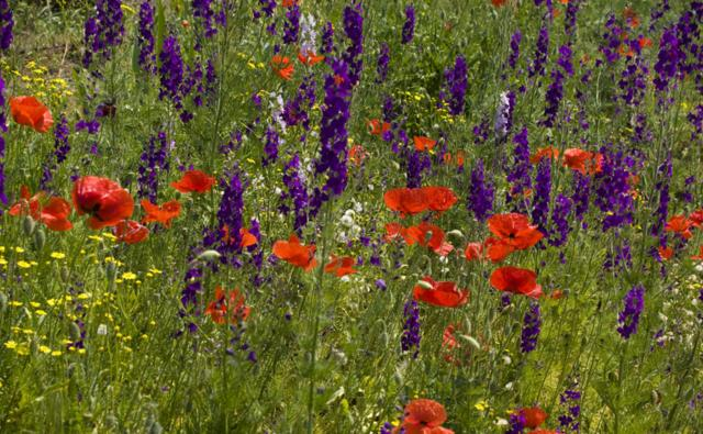 Common poppy and forking larkspur in a flower meadow