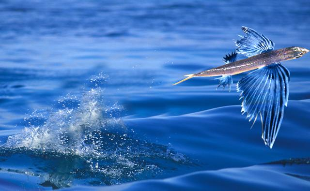 A flying fish leaping out of the sea